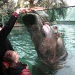 Berlijn-Dierentuin-Nijlpaard